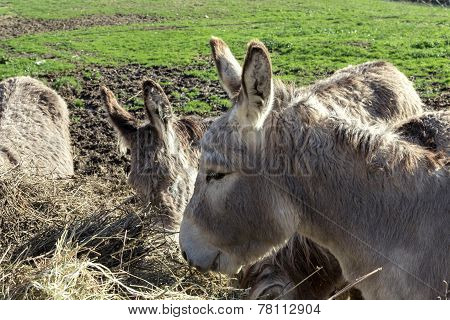 Donkey eating hay