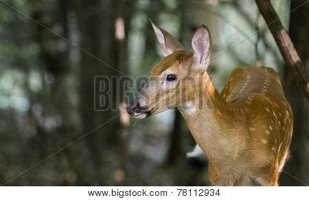 Whitetail Deer Fawn On Alert In The Woods