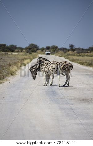Two zebra playing on the road