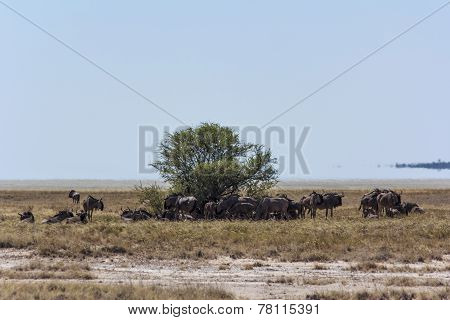 wildebeast in Etosha