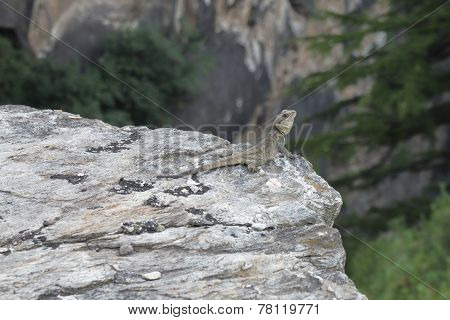 Lizard On Stone With Head Up