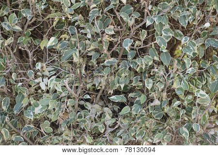Plexus Twigs And Leaves Of Trimmed Bush As Nature Background.