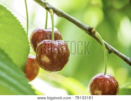 Red and sweet cherries on a branch just before harvest in early summer Australia