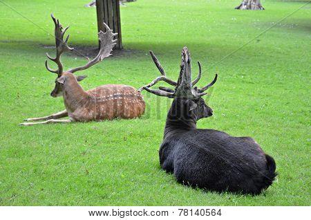 Two Fallow Deers
