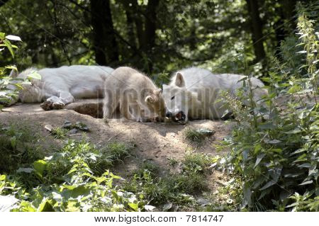 Family Of Polar Wolves  (canis Lupus Tundrorum).