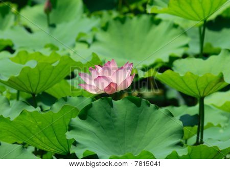 Close-up of beatiful pink lotus