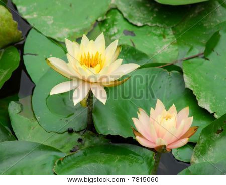 Close-up of beatiful pink lotus