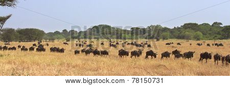 The Great Migration Of Wildebeests (connochaetes Taurinus) In Serengeti, Tanzania