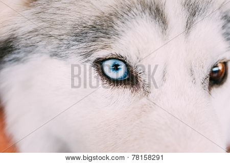 Close Up On Blue Eye Of A Husky