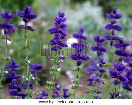 Beautiful Flowers Of Salvia