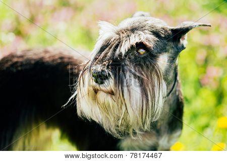 Miniature Schnauzer Dog Sitting In Green Grass Outdoor