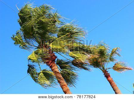 Palms At Wind