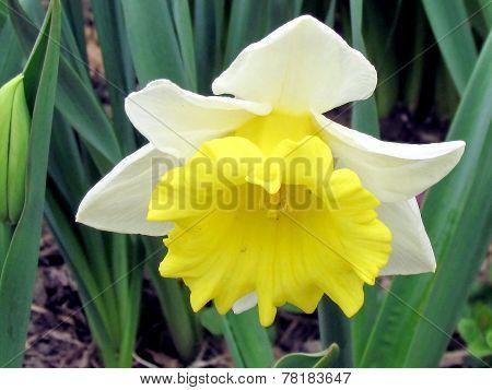 Washington Narcissus Isolated 2011