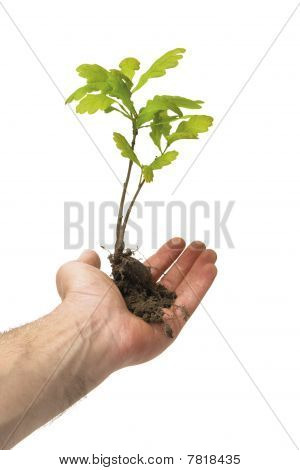 Oak Tree In Hand