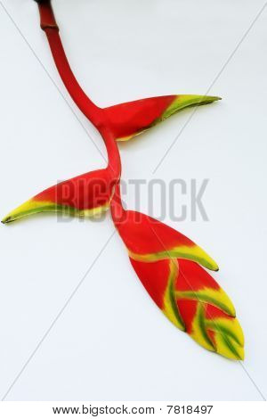 Tropica Heliconia