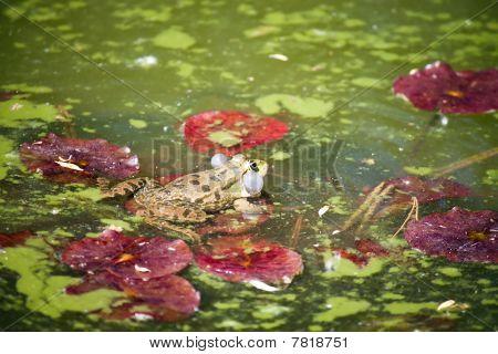 Green Frog In Muddy Pond