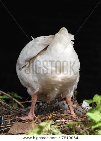 White Goose Butt