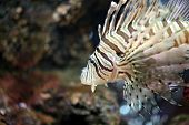pic of lion-fish  - Focus the Lionfish and dangerous fish in the sea.