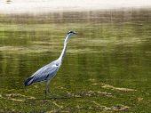 image of low-necked  - heron hunts at low tide in the Indian Ocean Seychelles - JPG