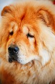 picture of chow  - Red Chines chow chow dog close up portrait - JPG