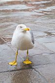 stock photo of albatross  - Curious Albatross staring and waiting for food in Venice Italy - JPG