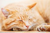 stock photo of orange kitten  - Peaceful Orange Red Tabby Cat Male Kitten Curled Up Sleeping In His Bed On Laminate Floor.