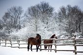 stock photo of saddle-horse  - Saddle horses looking over corral fence winter rural scene - JPG
