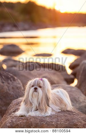 Shih-tzu dog lying on stone lake coast at sunset light.