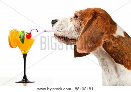 Beagle And Cocktail, Isolated On White