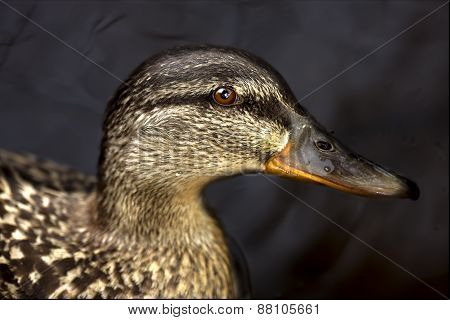 A Duck In The Black