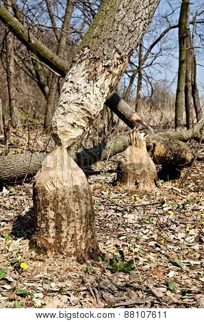 Tree in woods gnawed by beavers