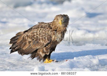 White tailed Sea-eagle