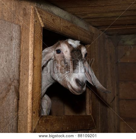 Nubian Brown Female Goat In Barn