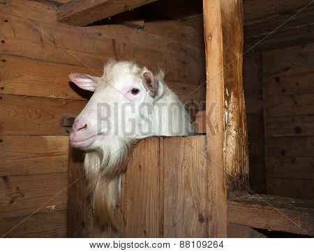 Saanen White Goat In Barn