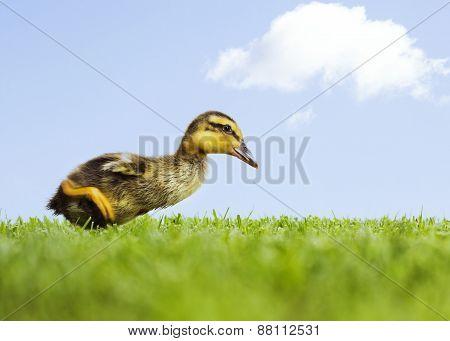 Duckling Walking In Field