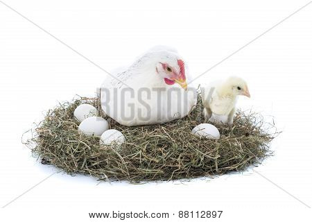 Hen With Chick And Eggs
