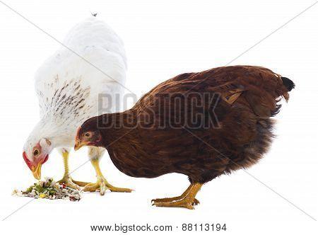 Feeding Chicken