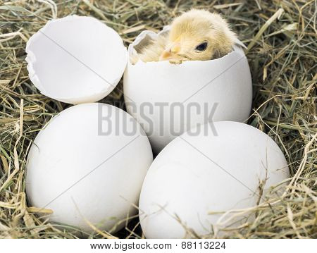 Baby Bird Hatching From Egg