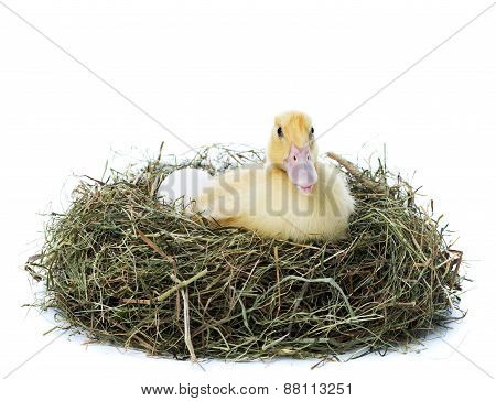 Duckling Inside Nest