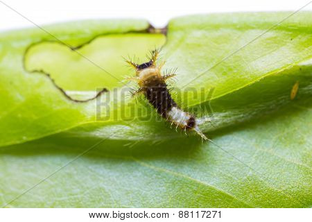 Young Tailed Jay Caterpillar