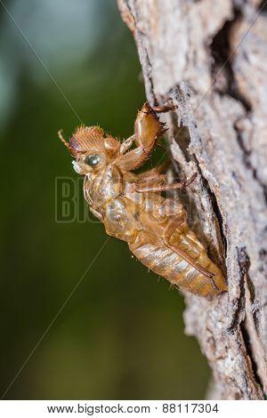 Cicada Pupal Case