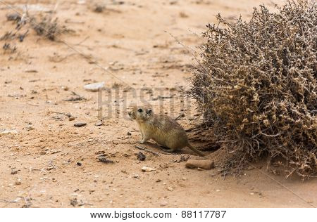 Rat In The Desert