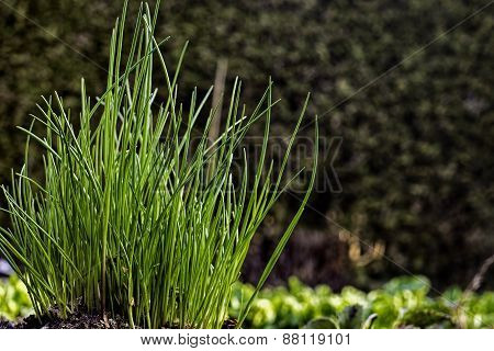 Young chives growing in vegetable garden