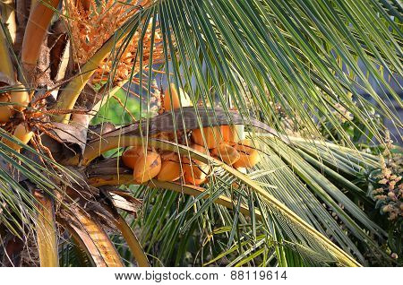 Coconut Palm In Sunny Day With Coconuts