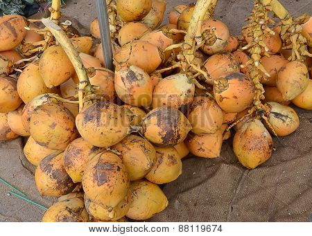 A Lot Of Coconut From Coconut Palm Plant