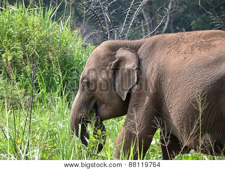 Elephant Head Feeding In Green Grass In Nature