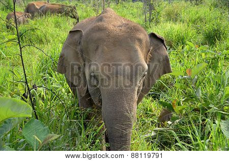 Little Young Elephant In Nature Front View Photo