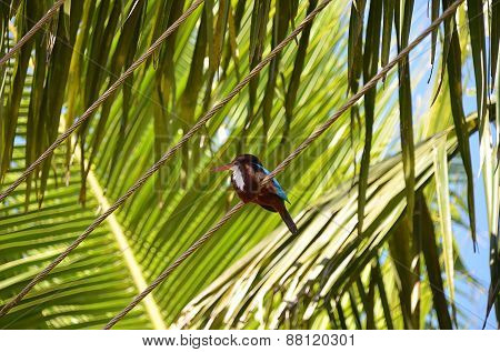 Sitting Kingfisher And Green Big Palm Leaf Detail Photo