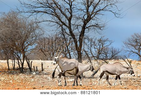 Gemsbok Oryx next to a waterhole in Ongava Reserve