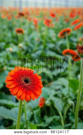 Orange Gerbera Flower With A Dark Heart From Close